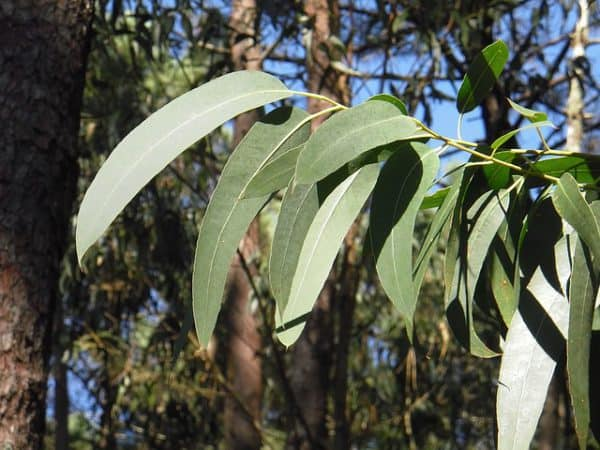 Best herbal teas for allergies: eucalyptus